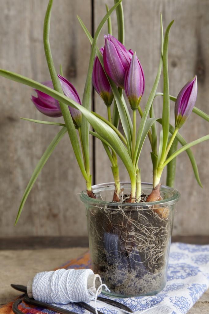 Wildtulpen, hier Tulipa aucheriana, werden meist nur 10 - 15 cm hoch. Die hübschen Zwerge öffnen bei Sonne ihre rosa, am Grunde gelben Knospen, zu weiten Blütensternen. Gibt man ihnen im Haus ein Glasgefäß, steht das erdige Wurzelwerk in einem wirkungsvollen Kontrast zu den lieblichen Blüten. Die Zwiebeln kommen nach der Blüte in den Garten.