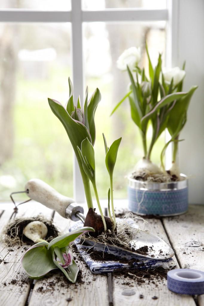 'China Town' ist eine wunderschöne, niedrig bleibende Tulpe mit apartem Farbspiel in zartrosa, hellgrün und weiß. Sie ist wie geschaffen für einen dekorativen Blickfang auf der Fensterbank – vor allem in einer Blechdose, die mit Masking-Tape verziert worden ist. Im Garten ist die Viridiflora-Tulpe besonders langlebig.